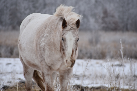 I'm Fairly Zipped, Appaloosa Mare for sale in Minnesota