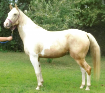 Palomino Paint Mare, American Paint Horse Association Mare for sale in Illinois