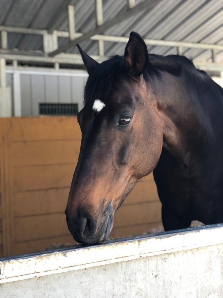 Bedtime Story(Otis), Warmbloods (All) Gelding for sale in California