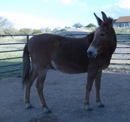 Levi, Mule Gelding for sale in New Mexico