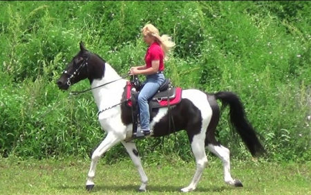 Moonpie, Tennessee Walking Horses Gelding for sale in Texas