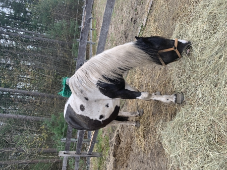 RWF Miss Leah, Gypsy Vanner Mare for sale in New Hampshire