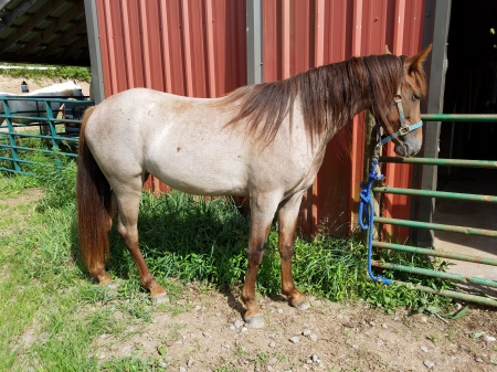 Lucy, Tennessee Walking Horses Filly for sale in West Virginia