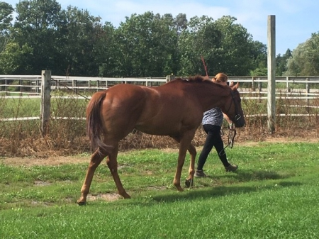 JC (Justifiable), Thoroughbred Gelding for sale in New York