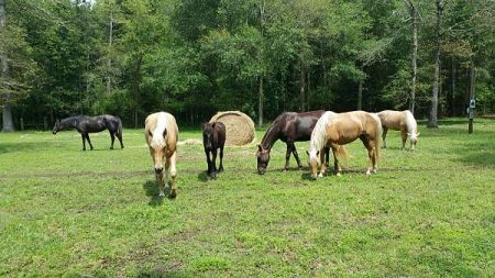 Rocky Mountains, Fell Pony, Palomino Quarter horse, Rocky Mountain Mare for sale in Texas