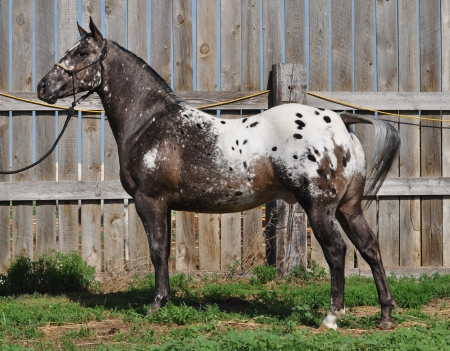 Fab Five Freddie, Appaloosa Gelding for sale in North Dakota