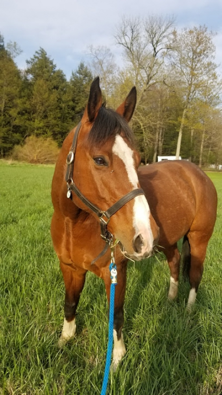 Born To Boogie, American Quarter Horse Gelding for sale in Michigan