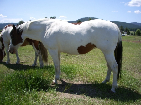 Shiloh , will be a great Mule  Maker, Draft Cross Mare for sale in Montana