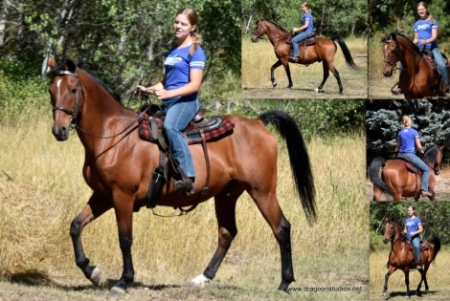 Sunshade Chain of Command, Morgan Gelding for sale in Washington