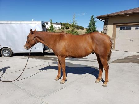 Elmer, American Quarter Horse Gelding for sale in Colorado
