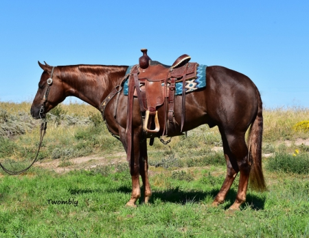 Revolutnhollywood Reining/Trail/Ranch, American Quarter Horse Gelding for sale in Nebraska