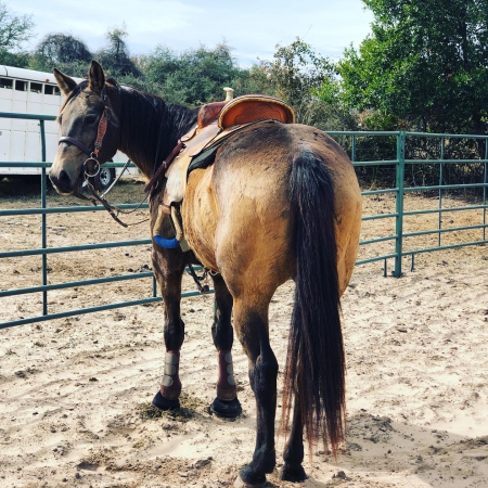 Grace, Quarter Pony Mare for sale in Texas