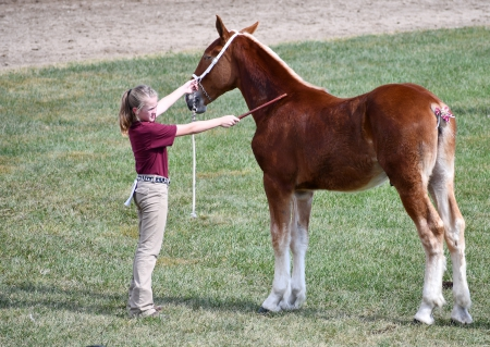 Bloom's Bender's Twister, Belgian Stallion for sale in Ohio