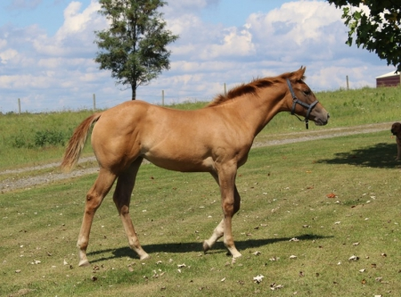Miss Minnie Bullet, American Quarter Horse Filly for sale in West Virginia