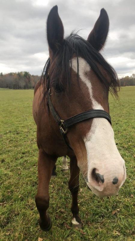 Alazy Attraction (joey), American Quarter Horse Gelding for sale in Michigan