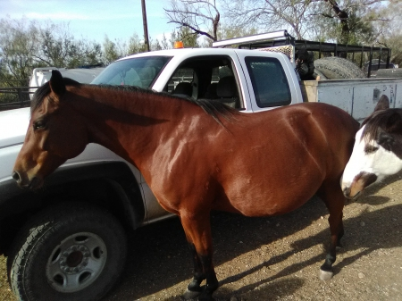 Martha, Quarter Horse Cross Mare for sale in Texas