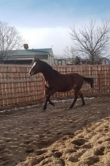 Daisy, Quarter Horse Cross Mare for sale in Colorado