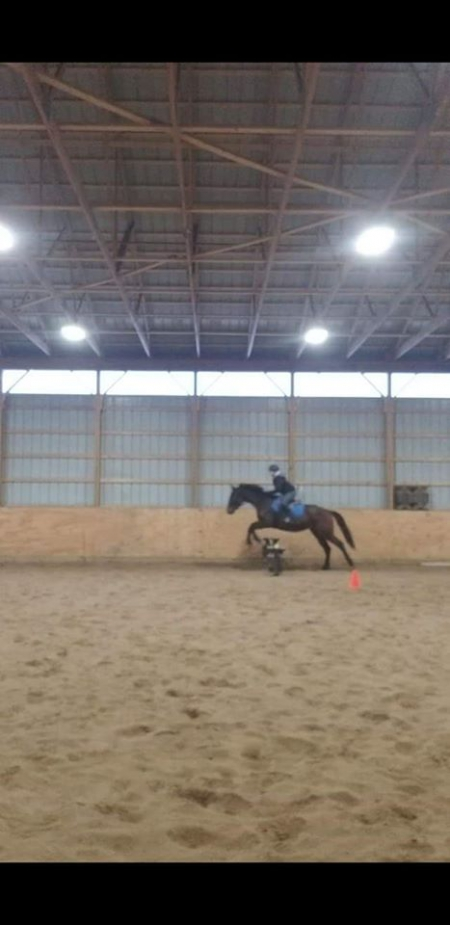 King Ming, Thoroughbred Gelding for sale in New York
