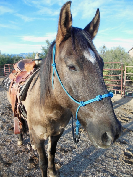 Ryder, Mustang Gelding for sale in Arizona
