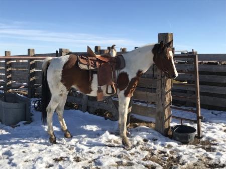 Jenny, American Quarter Horse Mare for sale in Colorado