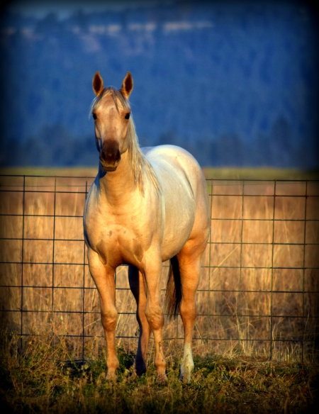 worthmykelosingold, American Quarter Horse Filly for sale in Washington