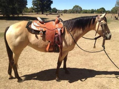 Molli, American Quarter Horse Mare for sale in Connecticut