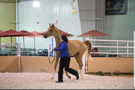 Beautiful and Gentle Pure Arabian Horse FOR SALE, Arabian Mare for sale in Missouri