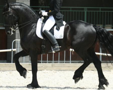 Momo, Friesian Stallion for sale in California