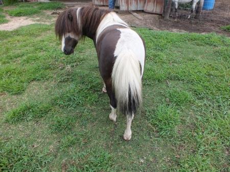 Glenn Midnight Cowboy, Miniature Stallion for sale in Florida