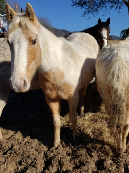 Repete, American Quarter Horse Colt for sale in Tennessee