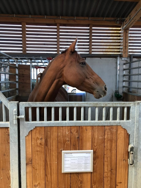 Beautiful 5 yo Emma Bay Thoroughbred Mare., Thoroughbred Mare for sale in California