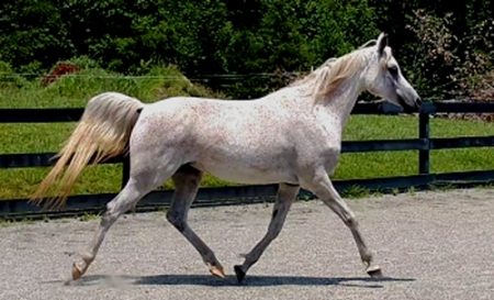 Mayhems Jezebelle, Arabian Mare for sale in Virginia