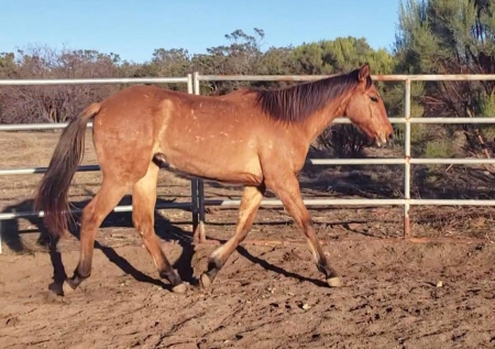 Lilly, American Quarter Horse Filly for sale in California