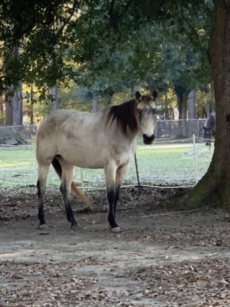 Willow, American Quarter Horse Mare for sale in Louisiana