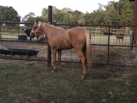 Reinin on Sunday , American Quarter Horse Mare for sale in Texas
