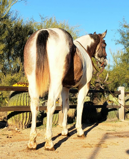 SWEET & GENTLE RIDING & DRIVING DRAFT X PAINT MARE, Draft Mare for sale in Arizona