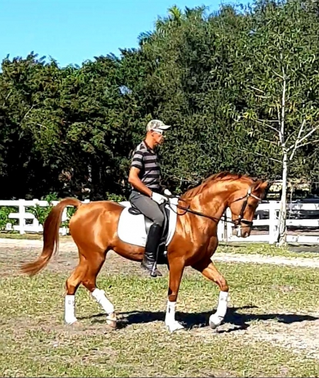 Special CAF, Arabian Mare for sale in Florida