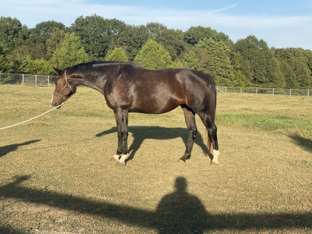 Aria, Oldenburg Mare for sale in South Carolina