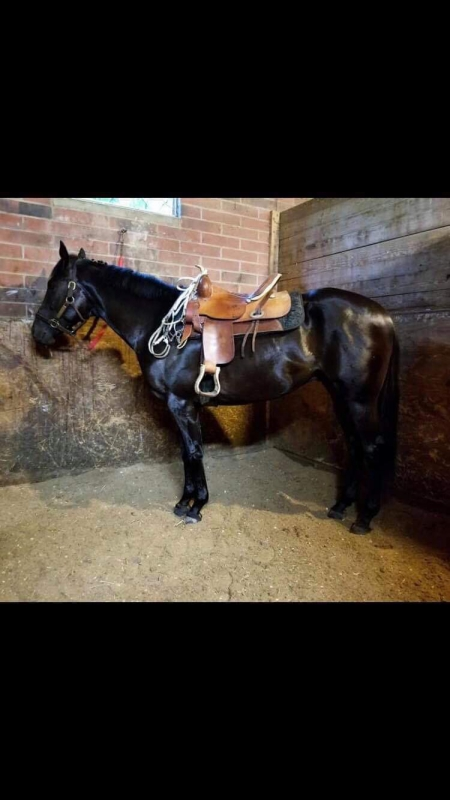 OTTB GELDING COMING 5 YRS SOUND NO VICES 15.1, Thoroughbred Gelding for sale in Ohio
