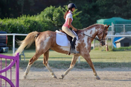 Maverick, Quarter Horse Cross Gelding for sale in New York