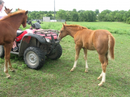 Smart Little Ms Dual, American Quarter Horse Filly for sale in Iowa