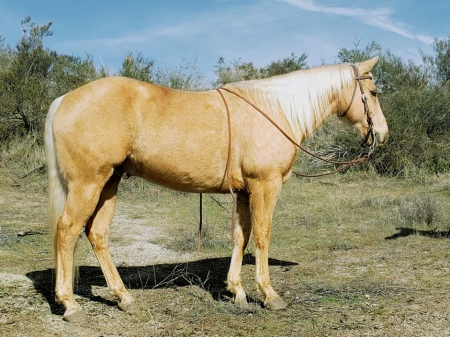 Riviera, Palomino Gelding for sale in California