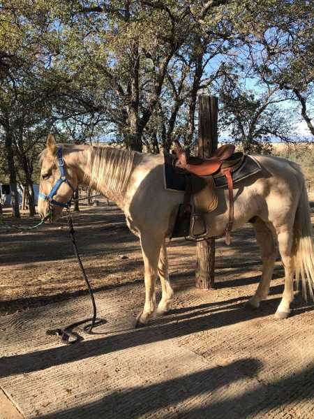 Picali, Palomino Gelding for sale in Texas