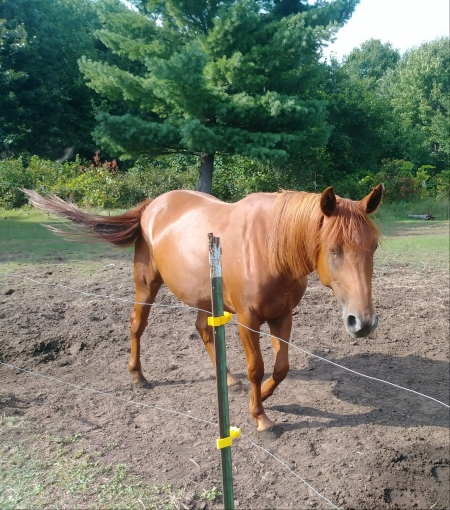 Nugget, American Quarter Horse Mare for sale in Wisconsin