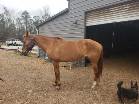 Venus, American Quarter Horse Filly for sale in North Carolina