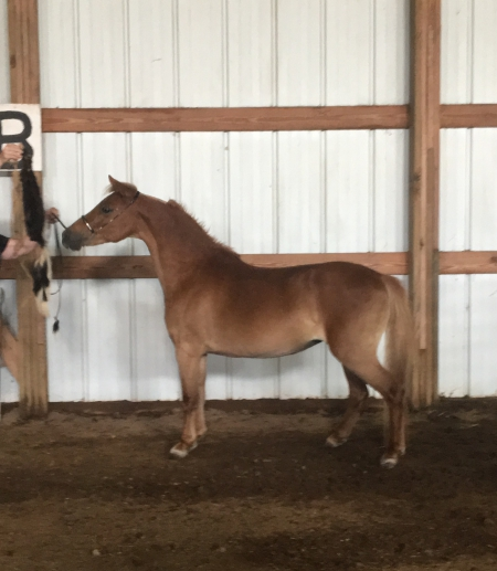 Emerald Glenn Samantha, Shetland Pony Mare for sale in Minnesota