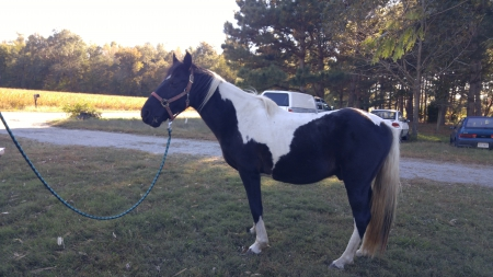 Dakota, Tennessee Walking Horses Gelding for sale in Virginia