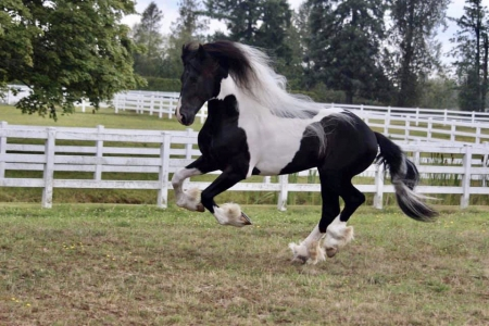 Ezra, Friesian Stallion for sale in Indiana