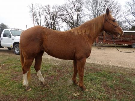 Morgan, American Quarter Horse Mare for sale in Missouri