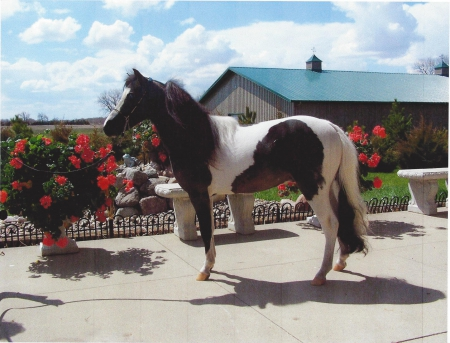 Ritz, Miniature Stallion for sale in North Dakota